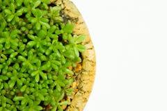 Tłustoszowaty kaktus Zdjęcia Royalty Free