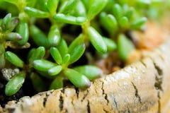 Tłustoszowaty kaktus Obrazy Stock