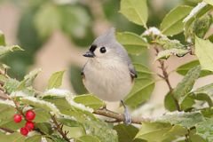 Tuted Titmouse in a Holly Tree Royalty Free Stock Photo