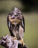 Tutela Vermelho-atada de Hawk Canadian Raptor; Vittoria, Ontário, Canadá foto de stock