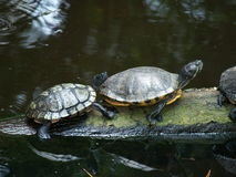 Tutles in the Sun. Turtles sun themselves on a fallen log Royalty Free Stock Photography