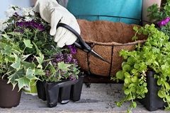 Tutorial of Ppreparing a Hanging Basket of Flowers Stock Image