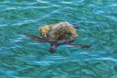 Tutrle Swimmig 免版税库存图片