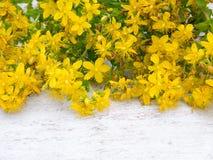 Tutsan blommar på den vita bakgrunden Arkivfoton