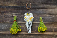 Tutsan bunches and horse cranium on old wooden wall. Fresh medical herbs tutsan bunches and horse cranium with horseshoe on old wooden farm wall royalty free stock photo