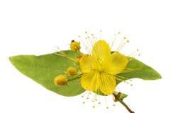 Tutsan flower and foliage Royalty Free Stock Photo
