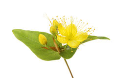 Tutsan flower and foliage Stock Photo