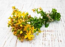 Tutsan flowers Stock Image