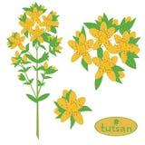 Tutsan, hierba de San Juan, planta medicinal, vektor, eps8 ilustración del vector
