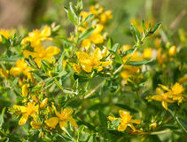 Tutsan (hypericum) Stock Photos
