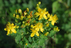 Tutsan (perforatum do Hypericum) Imagem de Stock