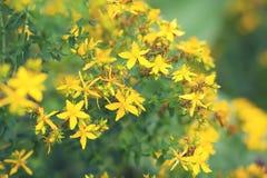 The  tutsan plant Royalty Free Stock Photo