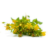 Tutsan (Saint-John's-wort), medicinal herbs Royalty Free Stock Photo