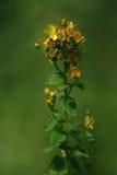 Tutsan, St. John's wort, Hypericum flower Stock Images
