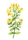 Tutsan watercolor drawing. St. John wort branch. Hand drawn healing herb. Vector colourful illustration of medical plants Stock Photos