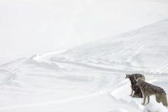 Tutti in husky bianco e siberiano Immagini Stock Libere da Diritti