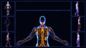 Tutti i sistemi del corpo umano   royalty illustrazione gratis