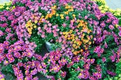 Tutti i tipi di crisantemo Fotografia Stock Libera da Diritti