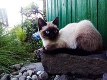 Tutto fuoco, gatto, animale siamese e sveglio, occhi azzurri fotografia stock