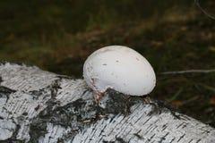 Tutu de champignon sur le bouleau images stock