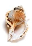 Tutufa腹股沟淋巴肿块青蛙蜗牛壳  库存图片