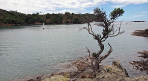 Tutukaka harbour pohutukaka. Clinging to rocks Royalty Free Stock Image