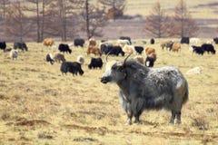 Tuvan koeien royalty-vrije stock fotografie