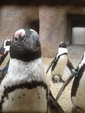 Tuxedo bird Stock Image