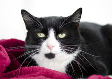 Tuxedo black and white cat. On red blanket. Humane Society animal shelter adoption photography. Walton County Animal Control, Georgia, USA royalty free stock photo