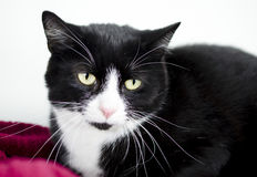 Tuxedo black and white cat. On red blanket. Humane Society animal shelter adoption photography. Walton County Animal Control, Georgia, USA royalty free stock photography