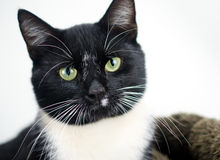 Tuxedo Cat Adoption Photo Royalty Free Stock Images