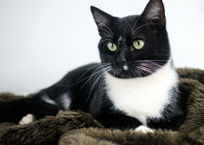 Tuxedo Cat Adoption Photo Royalty Free Stock Photography