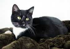 Tuxedo Cat Adoption Photo Royalty Free Stock Photo