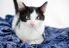 Tuxedo Cat Adoption Photo Stock Photography