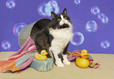 Tuxedo cat with bathtub and duckies Royalty Free Stock Images