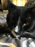 Tuxedo Cat. On bed royalty free stock photo