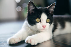 Tuxedo Cat on Black Wooden Surface Stock Images