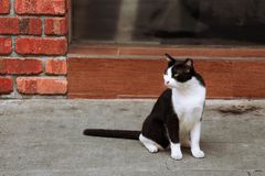 Tuxedo cat and brick wall. Street-side tuxedo cat stock photo