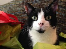 Tuxedo Cat in Bright Tissue Paper. Tuxedo cat laying in brightly colored tissue paper stock image