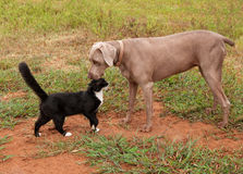 Tuxedo cat confidently approaching a Weimaraner dog Stock Photo