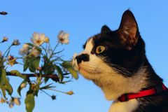 Cropped Shot Of A Cat Sniffing White Flowers Over Blue Sky Background. Tuxedo Cat And Flowers. Animals, Pets, Nature Concept. Cropped Shot Of A Cat Sniffing stock photos