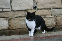 Tuxedo cat on a footpath. A tuxedo cat staying on a footpath in front of a stone wall on the Limassol seafront on a rainy winter day stock photos