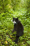 Tuxedo Cat on Forest Path Royalty Free Stock Photo