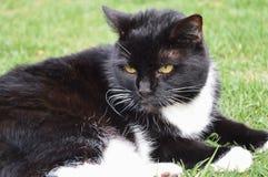 Tuxedo Cat. In garden Stock Photos