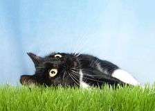 Tuxedo cat in grass looking up. One black and white tuxedo cat laying in green grass looking up, blue background stock image