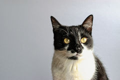 Tuxedo Cat. On a gray background royalty free stock photos