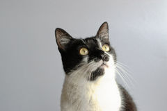Tuxedo Cat. On a gray background stock photo