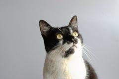 Tuxedo Cat. On a gray background Stock Photo
