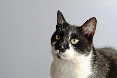 Tuxedo Cat. On a gray background Royalty Free Stock Images