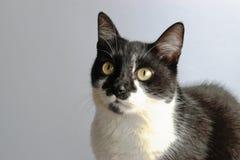 Tuxedo Cat. On a gray background Royalty Free Stock Photos